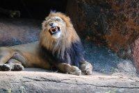 Swingen op Dierendag | Beluister de playlist van Jeroen Schipper en brul als een leeuw!